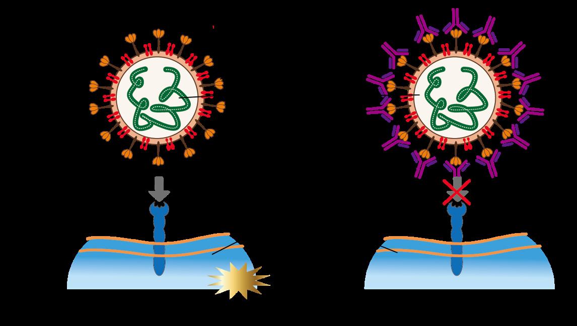 Pseudoviral Neutralizing Antibody Detection Platform